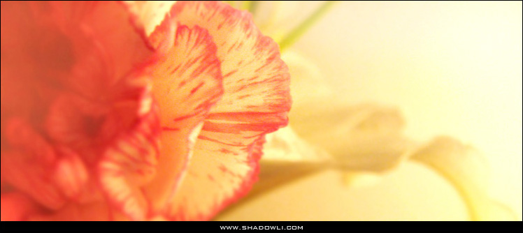 http://www.shadowli.com/images/lilycarnation.jpg